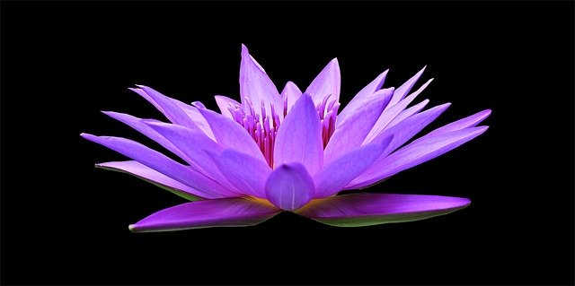 Water-Lily